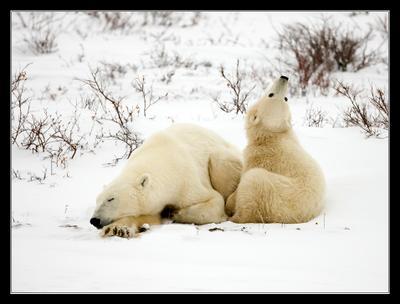 Моя мама и я Белый медведь Канада Churchill
