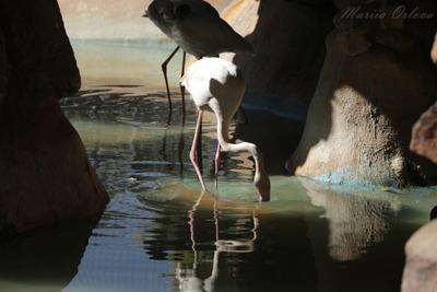 Фламинго фламинго природа зоопарк Египет