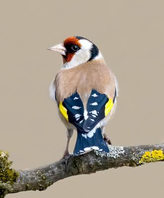 Щегол птицы природа зима весна лес Москва