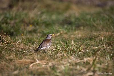 Дрозд-рябинник птицы дикая природа дрозд дрозд-рябинник фотоохота