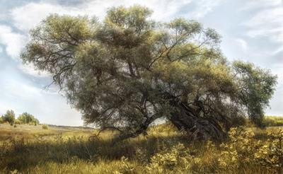 Песня об иве дерево небо лето