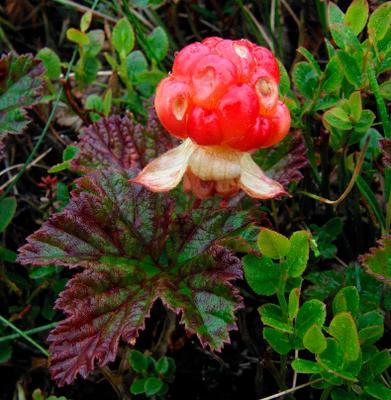 Морошка_2 (Скромное обояние Севера) морошка лето ягода