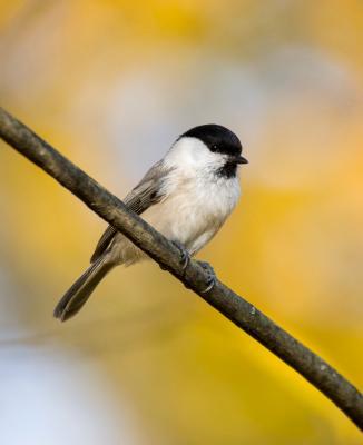 Буроголовая гаичка в Измайлово птицы осень лес природа