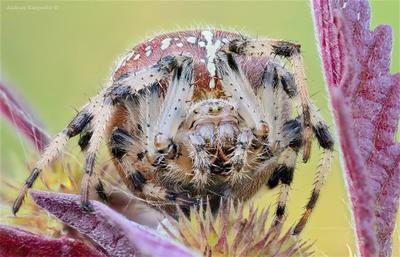 Паучек-крестовичек паук крестовик природа макро утро луговой четырехпятнистый