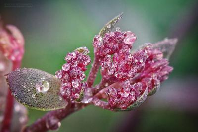 ***Мой сад. После дождя. Очиток. Сад После дождя Очиток Цветы