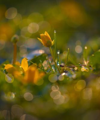 Хрустальное утро весны! Ставропольский край цветы природа флора лютик цветок первоцветы роса рассвет макро жёлтый свет золотой блики