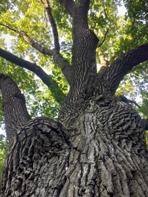 Старый дуб дуб старый царицыно