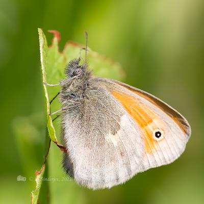 Бабочка сенница насекомое макро бабочка