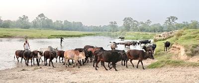 Вечер на реке Рапти. Непал Саураха река Рапти коровы буйволы