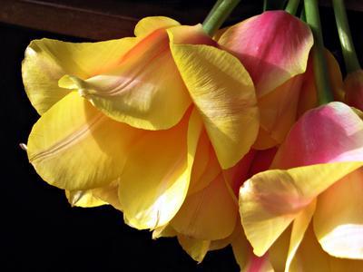 *** цветы тюльпаны макро