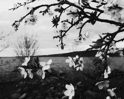 Цветущая вишня на речке цвет вишня речка вода природа