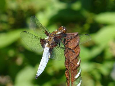 The Dragonfly and the Iron Age (Стрекоза и Железный Век)