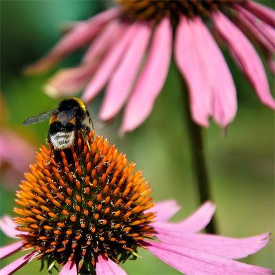 От цветка к цветку цветок, насекомое, шмель