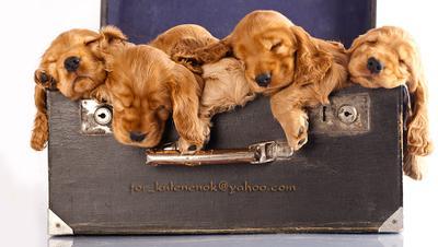 Сонный чемоданчик английский кокер спаниель