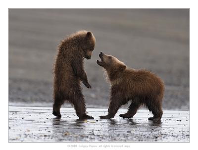 ***** медведи аляска медвежата отношения