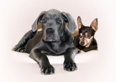 Два добрых пса, два верных друга. той-терьер, кане-корсо, корсо, собака, щенок, дуэт, отдых, терьер