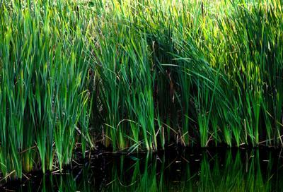 У пруда природа пруд рогоза камыш декоративная растительность водоём