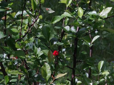 лето уже - цветёт айва - совсем тепло... sony dsc-hx200v moscow suburb close-up flowers