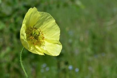 Желтый мак маки цветы