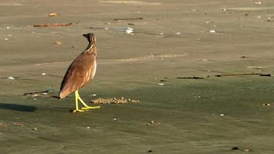 Индийская прудовая цапля. Индийская прудовая цапля птица Индия