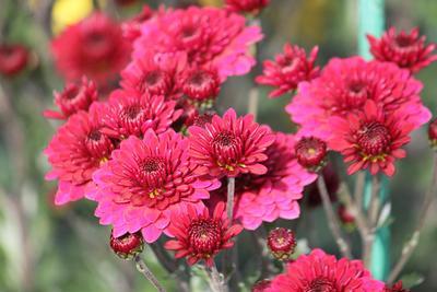 Красное семейство хризантемы