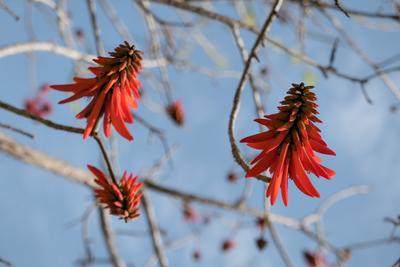 Коралловое дерево Цветение Израиль весна эритрина