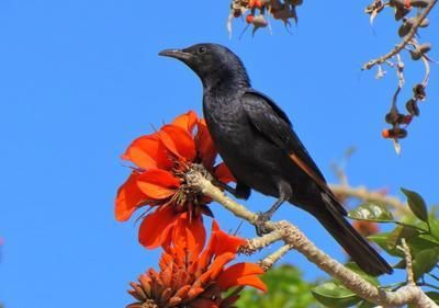 Тристрамов длиннохвостый скворец скворец птица