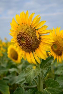 Солнечный цветок лето август подсолнух цветок поле