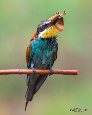 После дождя Золотистая Щурка European Bee-eater Merops Apiaster Уфа