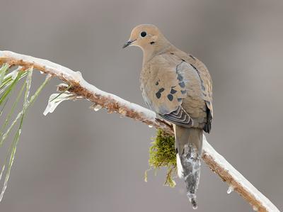 Mourning dove -Плачущая горлица