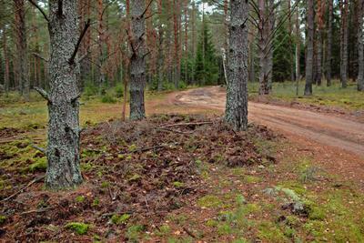 Через лес до ближайшей деревни лес сосны