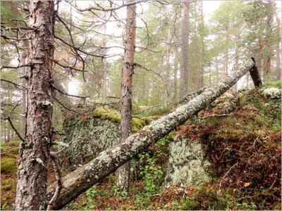 *Утро в северном лесу* фотография путешествия природа пейзаж лес лето Север Фото.Сайт Светлана Мамакина Lihgra Adventure