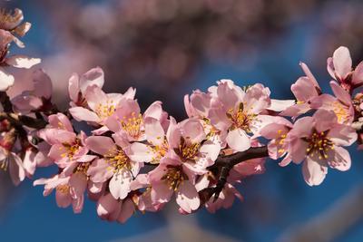....розовый цвет Крым Новый Свет Фотопленер