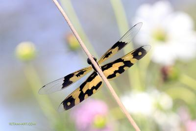 Прятки / Hide-and-Seek стрекоза dragonfly Rhyothemis variegata Libellulidae Picture Wing Variegated Flutterer Индия Ритам Мельгунов стихи поэзия Ritam Melgunov poetry poem