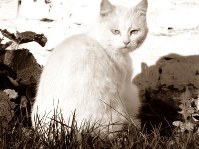 ***мысли кошка белая сепия