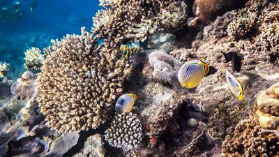 Рыба бабочка. Мальдивские острова.