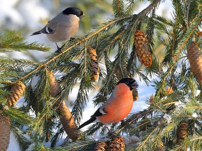 Зимним утром природа птицы фотоохота снегирь