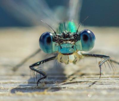 В глаза мне смотри!... стрекоза глаза фасетки