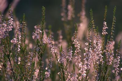 Сказ о вереске вереск лес лето закат
