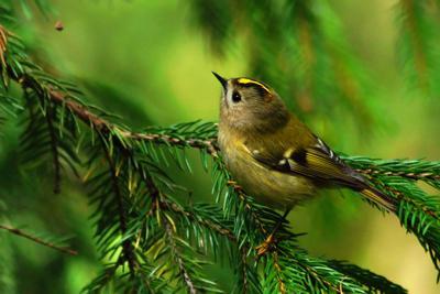 Желтоголовый королёк желтоголовый королёк