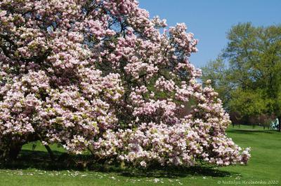 Магнолия магнонолия, дерево, весна, парк