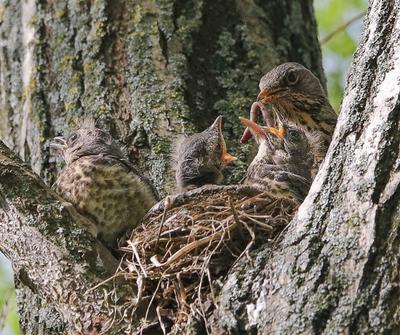 кормёжка птицы дрозды птенцы