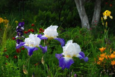 ***Цветы самурая Природа