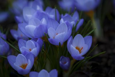 Крокусы... цветы крокусы крокус краски растения зелень цветник