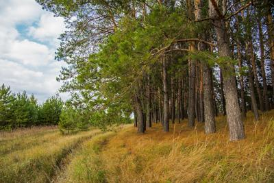 Сосны природа пейзаж осень сосны татарстан