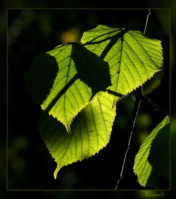 **** листва тени макро