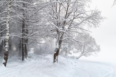 *** лес зима снег деревья туман