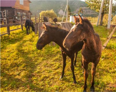 Синхронный выпас Хакасия деревня кони жеребята Малая Сыя лето вечер mamanna2007