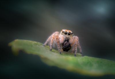 Маленький охотник. паук насекомое макро природа фауна фон боке свет цвет глаза взгляд