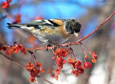 Вьюрок  и  ягодки птицы вьюрок